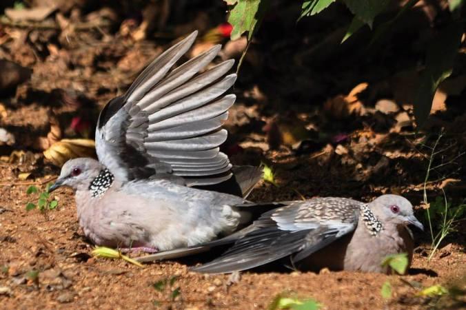 spotted dove by Vijaykumar Thondaman - La Paz Group