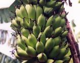 Banana rasthali variety
