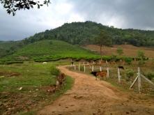 Tea plantation in Idukki credit Ea Marzarte