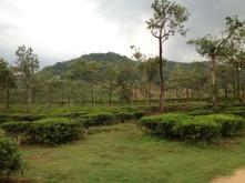 Tea crops in a plantation credit Ea Marzarte