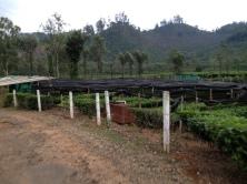 Nursery at a tea plantation credit Ea Marzarte