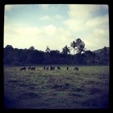 cows on a field credit Ea Marzarte