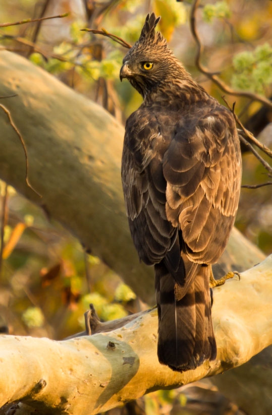 Bird of the day - Changeable Hawk-Eagle ( Bhadra Tiger Reserve, Karnataka )