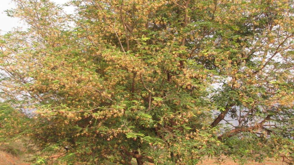 Tamarind Tree Flowers