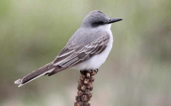 Gray Kingbird by Justin Proctor - La Paz Group