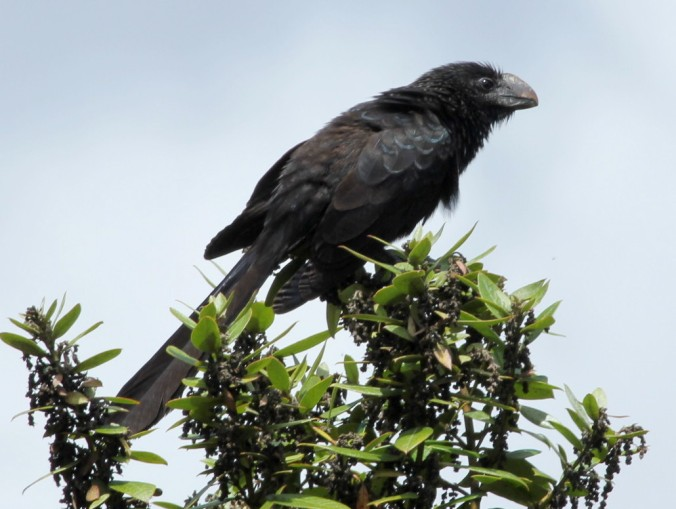 Smooth-billed Ani by Justin Proctor - La Paz Group