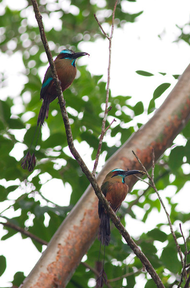 Turquoise-browed Motmot by Evan Barrientos - La Paz Group