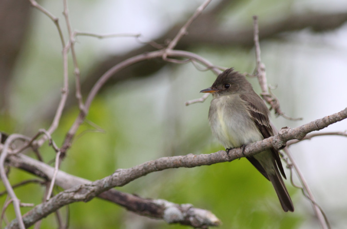 Eastern Wood-Pewee by Evan Barrientos - Organikos