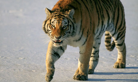 Decades of poaching and logging in China and elsewhere have ravaged the Siberian tiger population, with only about 500 left in the wild worldwide. Photograph: Tim Davis/Corbis