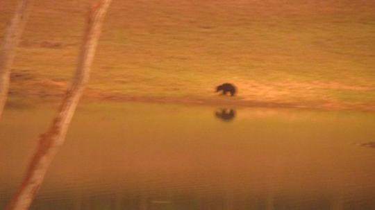 Sloth Bear fishing at sunset by Periyar Lake