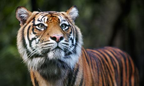 A Sumatran tiger, one of thousands of species threatened by palm oil plantations and paper and timber businesses. Photograph: Allan Baxter/Getty Images