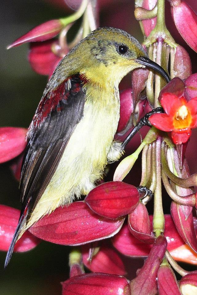 Crimson-backed Sunbird by Vijaykumar Thondaman - La Paz Group