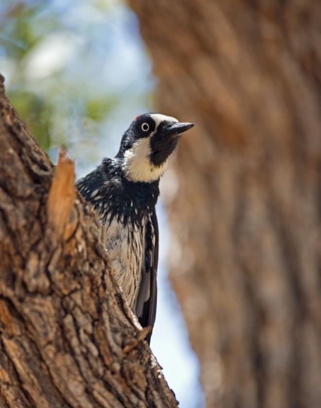 Acorn Woodpecker by Brian Magnier - La Paz Group