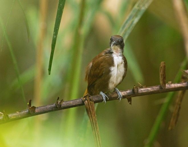 Bicolored Antbird by Brian Magnier - La Paz Group