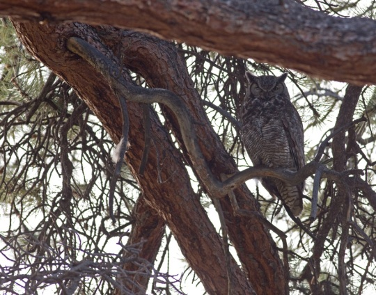 Great Horned Owl  by Brian Magnier - La Paz Group