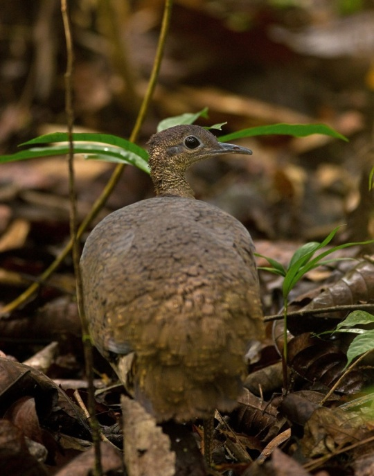 Great Tinamou by Brian Magnier - La Paz Group