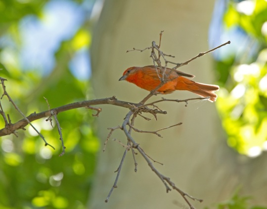 Hepatic Tanager by Brian Magnier - La Paz Group
