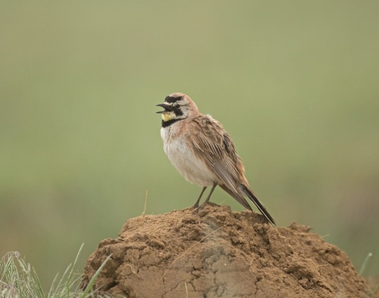 Horned Lark by Brian Magnier - La Paz Group