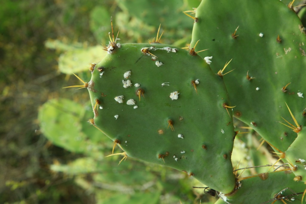 Cactus plant raxa collective - What is cactus plant good for ...