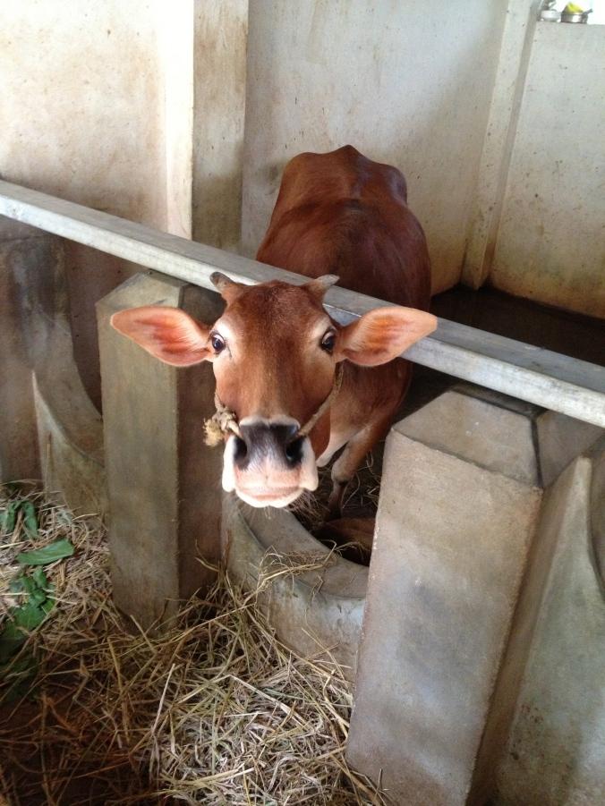 Vechur calf