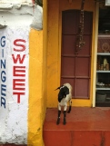 One goat looking for sweets in Mattancherry credit Ea Marzarte – Raxa Collective