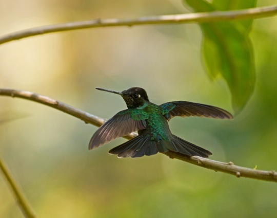 Magnificent Hummingbird by Brian Magnier - La Paz Group