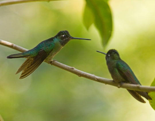 Magnificent Hummingbirds by Brian Magnier - La Paz Group
