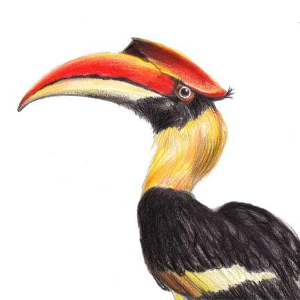 Indian Hornbill Drawing Collection Drawing From