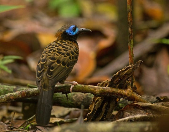 Ocellated Antbird by Brian Magnier - La Paz Group