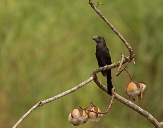 Smooth-billed Ani by Brian Magnier - La Paz Group