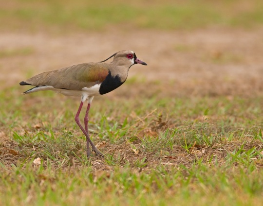 Southern Lapwing by Brian Magnier - La Paz Group