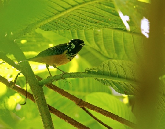 Spangle-cheeked Tanager by Brian Magnier - Organikos