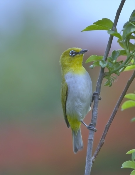 White-eyed Oriole by Anukash -RAXA Collective,