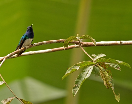 White-necked Jacobin by Brian Magnier - Organikos