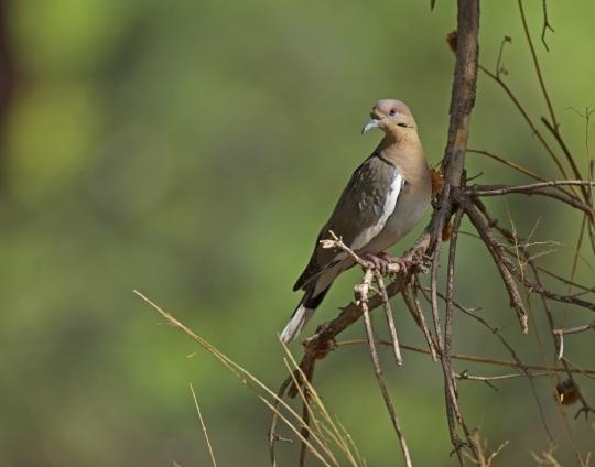 White-winged Dove by Brian Magnier - La Paz Group