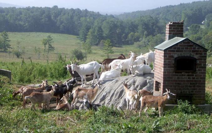 Goats on the hillside in Vermont. Photo by Anne Buchanan