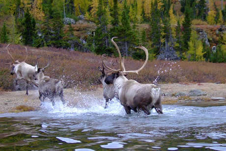 Photo courtesy Valerie Courtois, Canadian Boreal Initiative. Migratory tundra caribou in the boreal region of Quebec migrate hundreds of miles and require large tracts of protected wilderness.