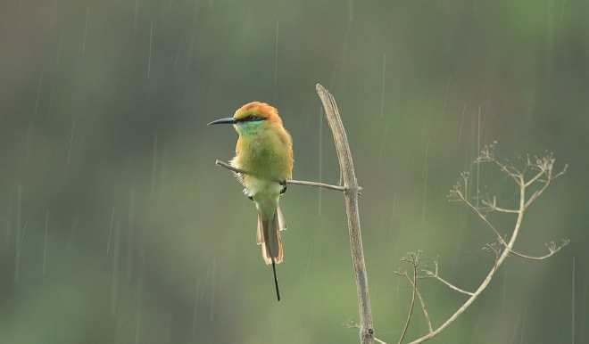 Green Bee-eater by Anukash - La Paz Group