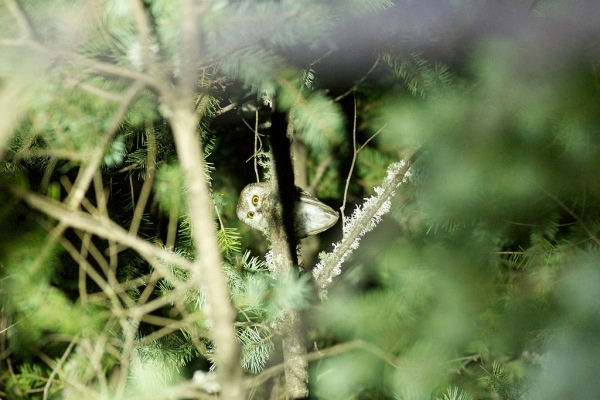 Northern Saw-whet Owl from Rustler Park