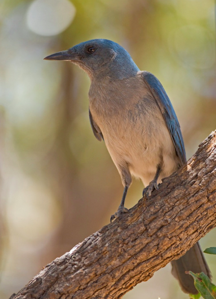 Mexican Jay by Brian Magnier - RAXA Collective