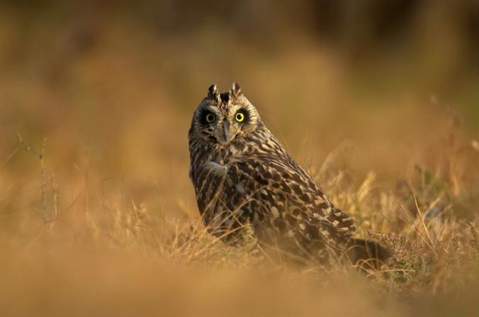 Short-eared owl by Sudhir Shivaram - La Paz Group
