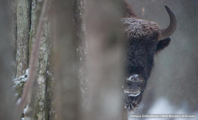 European bison (Bison bonasus) Bialowieza forest, Poland, Poland