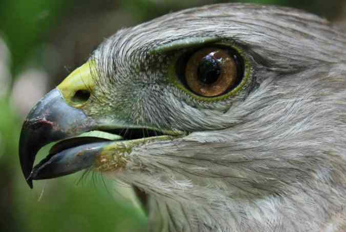 Ridgway's Hawk by Justin Proctor - La Paz Group