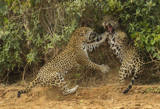 """The spat: For several hours, the noisy sounds of courtship and mating were all Joe McDonald was treated to as he sat, sweltering in the hot sun, in a boat on the Three Brothers River in Brazil's Pantanal. So when the female jaguar finally emerged from the undergrowth and walked down to the river to drink, he was grateful for the photo opportunity. But that was just a start. After slaking her thirst, the female flopped down on the sand. Then the male appeared. After drinking and scent-marking, he approached the female, who was lying in what appeared to be a pose of enticement. At least, that's what both Joe and the male thought. She rose, growled and suddenly charged, slamming the male back as he reared up to avoid her outstretched claws. His own claws were sheathed. """"I couldn't believe the energy and intensity of those three seconds,"""" says Joe. The pair then disappeared into the undergrowth to resume their courtship, leaving Joe with a sense of awe and a rare, winning image. (Joe McDonald / Wildlife Photographer of the Year 2013)"""