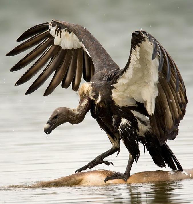 White-rumped Vulture by Sudhir Shivaram - La Paz Group