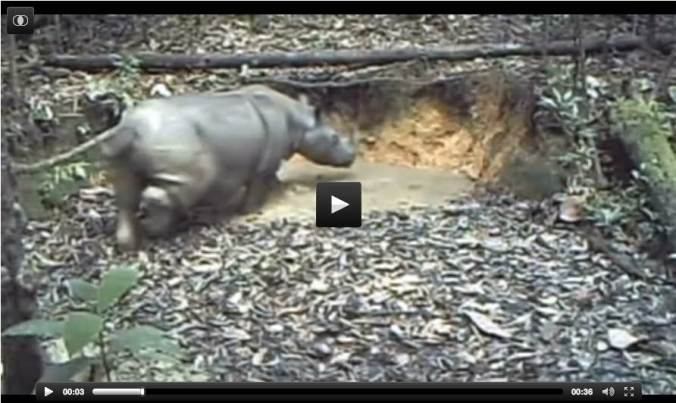 Scientists have captured video of a Sumatran rhino, once thought to have been wiped out, in the Kalimantan forest in Indonesia. In footage captured by the WWF, the animal can be seen bathing in a puddle and scurrying among trees. The video proves the charity's efforts to preserve the species have had some impact