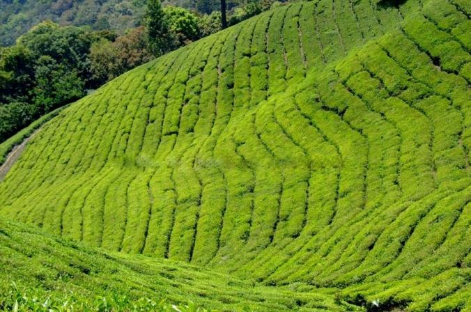 Tea Valleys