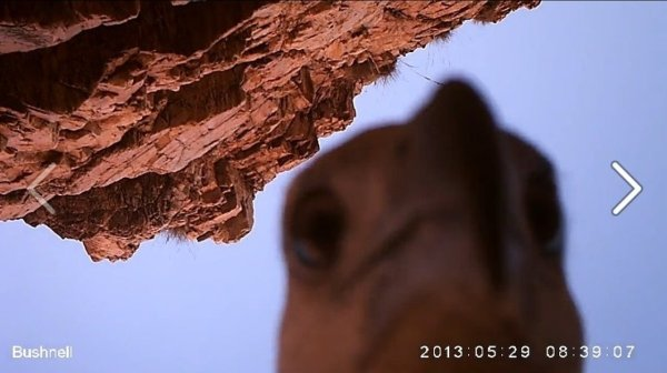 Caught red-beaked: This eagle grabbed a small wildlife camera in western Australia, flew away with it and then pecked away at the lens.