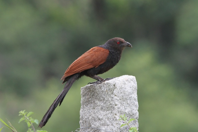 Greater Coucal by Anukash - La Paz Group
