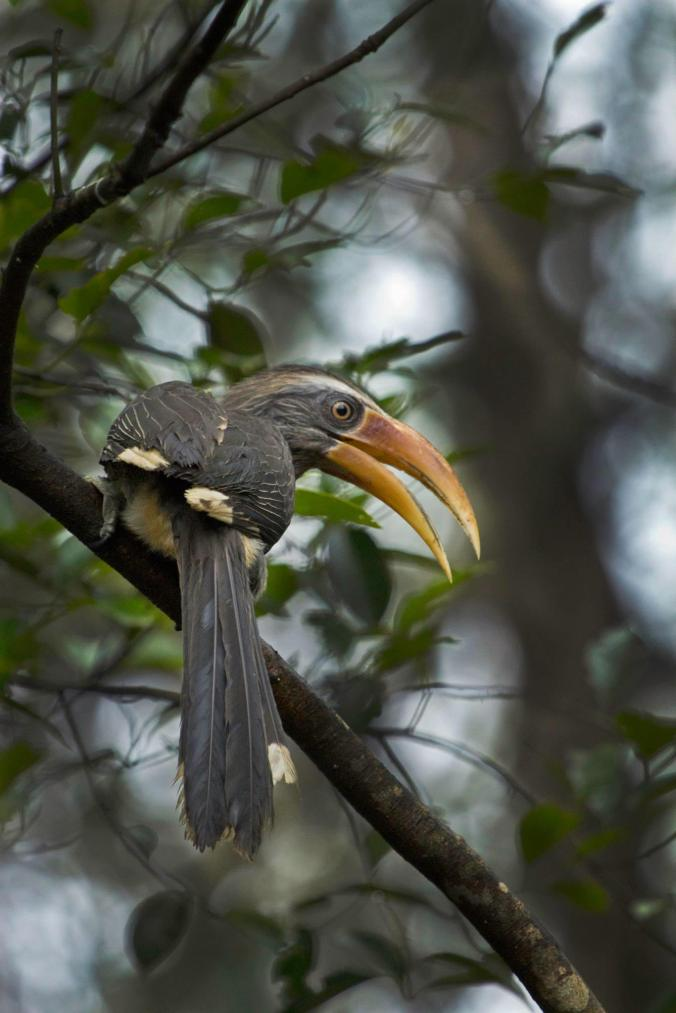 Malabar Gray Hornbill by Brinda Suresh - La Paz Group